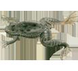 Afrikanische Krallenfrosch - Haut 71