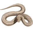 Kobra - Haut 66