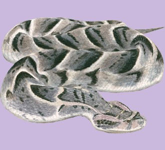 Ein Reptil von der Art viper aufnehmen
