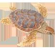 Karettschildkröte - Haut 26